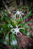 Hymenocallis white flowers in the rain forest of Khao Sok sanctuary, Thailand stock photo