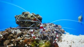 Hymenocera picta,一般叫作丑角虾, 股票视频