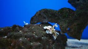Hymenocera picta,一般叫作丑角虾, 股票录像