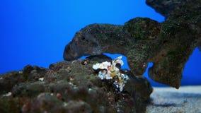 Hymenocera-picta, allgemein bekannt als die Harlekingarnele, stock footage