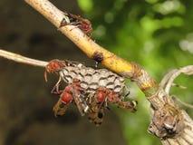 Hymenoptères guêpe-et nids sur l'arbre de branches Photographie stock libre de droits