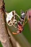 Hymenoptera Arkivfoto