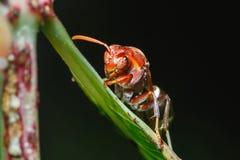 Hymenoptera bålgeting på bladcloseupen Arkivfoton