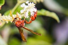 Hymenoptera macro hang white flower Royalty Free Stock Photography