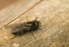Hymenoptera,Melangyna quadrimaculata Stock Images