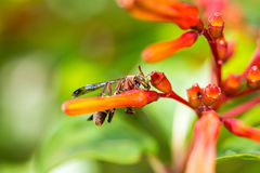 Hymenoptera on orange flower Royalty Free Stock Images