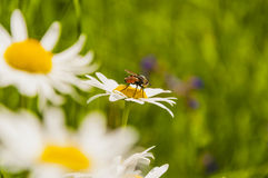 Hymenoptera (Sphecodes albilabris) at Work Stock Image