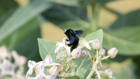 Hymenoptera wasp insect is sitting on the flower. Big Black Wasp insect is sitting on the Calotropis flower stock photo