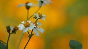 Hymenopteran die nectar van bloem verzamelen stock videobeelden