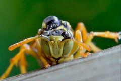 Hymenopterans Stockbilder