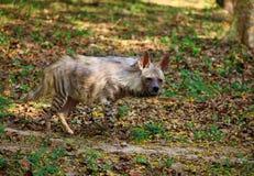 Hyène Photo stock