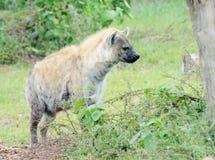 Hyène Photos stock
