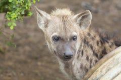 Hyène deux se trouvant vers le bas regardant et observant des jeunes Photo libre de droits
