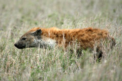 Hyäne - Serengeti, Afrika Lizenzfreies Stockfoto