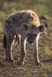 Hyäne zwei, die Junge liegt unten, schauend und beobachtend Stockbild