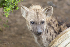 Hyäne zwei, die Junge liegt unten, schauend und beobachtend Lizenzfreies Stockfoto