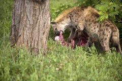 Hyänen essen totes Tier Lizenzfreie Stockbilder
