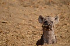 Hyänenwelpe, der mit einem Stock spielt Lizenzfreies Stockbild