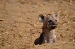 Hyänenwelpe, der mit einem Stock spielt Stockbild