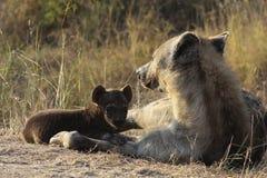 Hyänenwelpe und -mutter Stockfoto