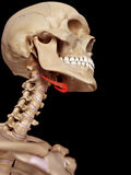 The hyoid bone stock image