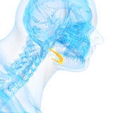 The hyoid bone. Medical 3d illustration of the hyoid bone royalty free illustration