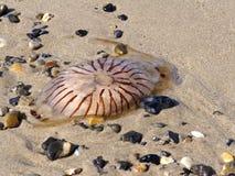 Hyoscella del Chrysaora de las medusas del compás Imagenes de archivo