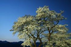 Hyotan Sakura Royalty Free Stock Image