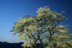 Hyotan Sakura Imagem de Stock Royalty Free