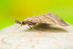 Hypena proboscidalis Fotografering för Bildbyråer