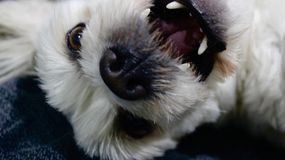 Hyper dog play fight face. White Maltese dog plays with the camera on the bed Stock Photo