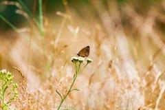 Hyperantus Aphantopus, коричневая бабочка птицы леса Стоковое Фото
