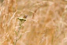 Hyperantus Aphantopus, коричневая бабочка птицы леса Стоковая Фотография