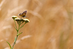 Hyperantus Aphantopus, коричневая бабочка птицы леса Стоковая Фотография RF