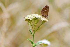Hyperantus Aphantopus, коричневая бабочка птицы леса Стоковые Изображения