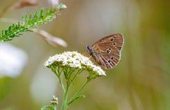 Hyperantus Aphantopus, коричневая бабочка птицы леса Стоковое Изображение RF