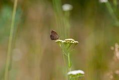 Hyperantus Aphantopus, коричневая бабочка птицы леса Стоковые Фотографии RF
