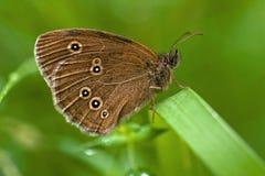 Hyperantus Aphantopus Ringlet Стоковые Фотографии RF