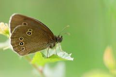 Hyperantus d'Aphantopus attendant sur une lame Image stock