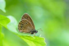 Hyperantus di aphantopus della farfalla con le ali marroni Fotografie Stock Libere da Diritti