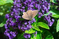 Hyperantus di Aphantopus, farfalla marrone del riccio su un flowe porpora Fotografie Stock