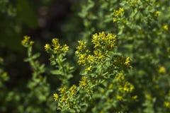 Hypericaceae Lizenzfreie Stockfotografie