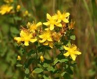 hypericum цветка Стоковые Изображения RF