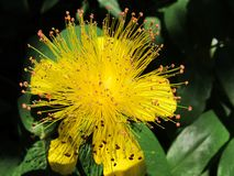 Hypericum Royalty Free Stock Photos