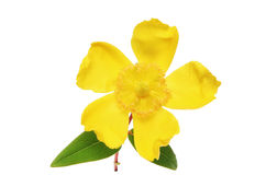 Hypericum. Flower and leaves isolated on a white background royalty free stock photography