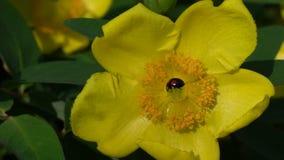 Hypericum amarillo brillante Hidcote y escarabajo de mariquita registrado el 4 de junio de 2016 almacen de metraje de vídeo