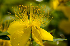 Hypericum Royalty Free Stock Image