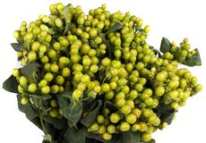 Hypericum berries Stock Photography