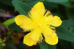 Hypericum Calycinum-Blume Stockbild