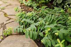 Hypericum calycinum branches lie on the path of sandstone. Selec. Tive focus Royalty Free Stock Images